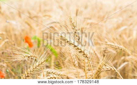 Field of ripe wheat (Triticum). Close-up of wheat ears. Defocused red poppy flower in the background.
