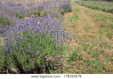 A beautful abandoned purple and green lavender field