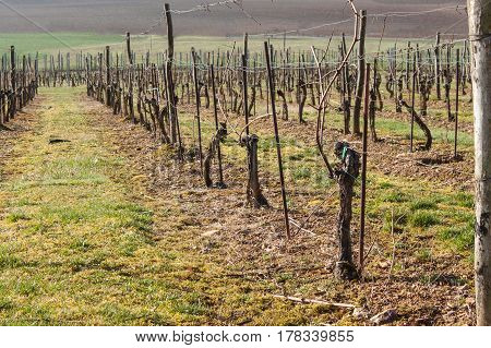 Vineyards in the spring. Preparing for the growth of grapes. Work on the vineyard