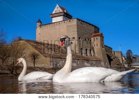 Swans swimming on the water in nature. In the background is the ancient Narva Castle of Herman facing the Russian fortress of Ivangorod.