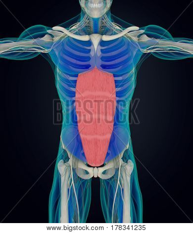Rectus Abdominus, stomach muscles, human anatomy. 3d illustration.