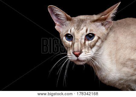 Portrait Of Peterbald Sphynx Cat Curiosity Looks On Isolated Black Background