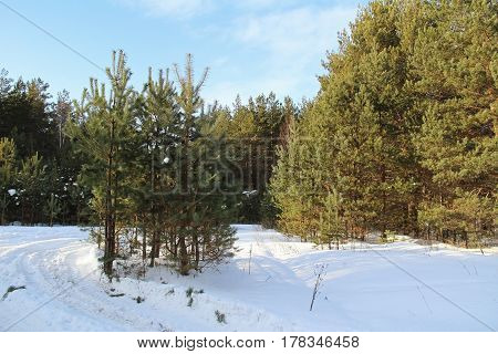Beautiful winter landscape. Winter forest on a sunny day.