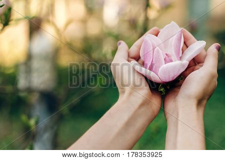 Magnolia Pink Flower In Woman Hands In Sunny Green Park. Tender Beauty Of Blooming  In Botanical Gar