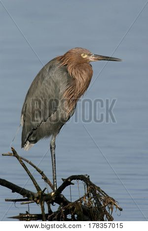 An adult Reddish Egret, Egretta rufescens standing on a branch over blue water