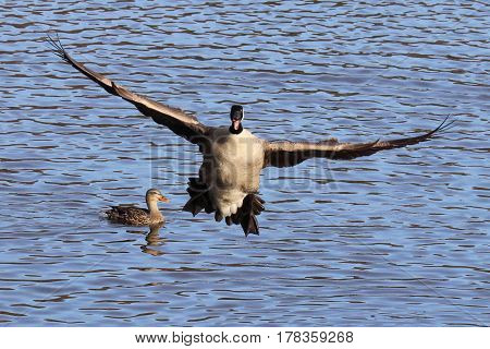 A funny picture of a goose coming into land.