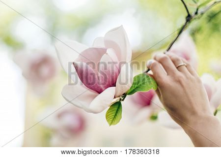 Woman Hand Holding Magnolia Pink Flower In Sunny Green Park. Tender Beauty Of Blooming In Botanical