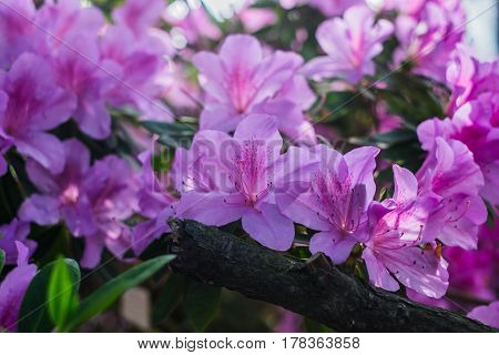 Bright pink tropical flower azalea with a branch and deep green  background