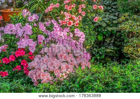 Bright pink, rad and orange tropical flower azalea bushes with deep  green garden background