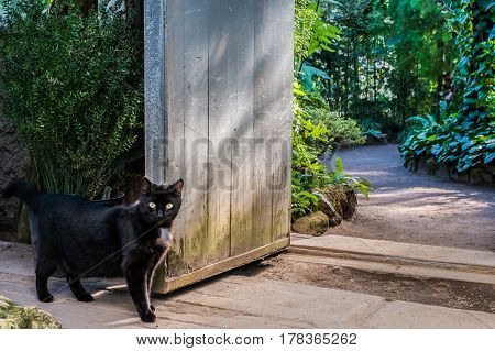 Curious black cat infront of vintage garden doors with bright green tropical plants on background