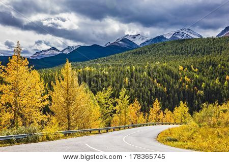 The magnificent Rocky Mountains in Canada. The warm Indian summer in October. Yellowed slender aspens near the road adjacent to the green spruce