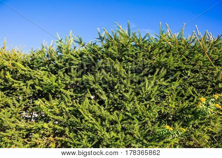 Hedge of green fir trees against the blue sky