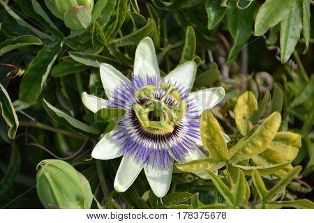 Passiflora caerulea, the blue passionflower, bluecrown passionflower or common passion flower