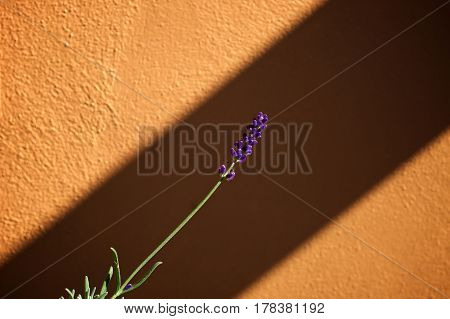 A single stalk of lavender plant with flowers at the tip stands out against an orange wall with sunshine and shadow.