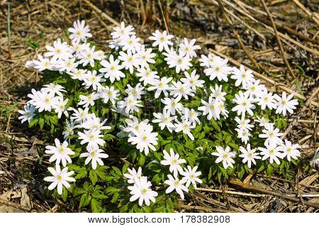 Group of blooming Rue Anemone flowers. Wild spring white flowers.