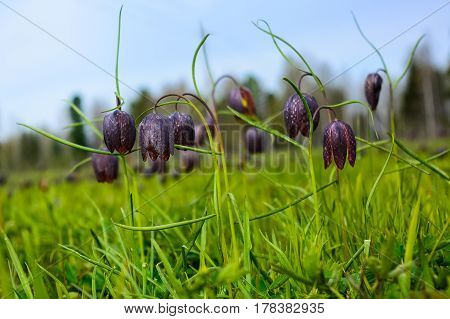 Group of blooming wild Fritillaria flowers. Wild checkered lily flowers.