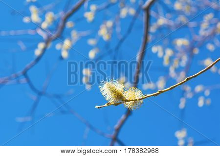 Flowering willow tree branch. Early spring blooming trees