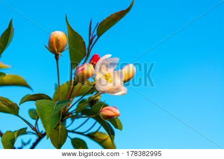 Apple blossom buds of creamy white sometimes tinged pink on blue sky background. Beautiful spring flowers