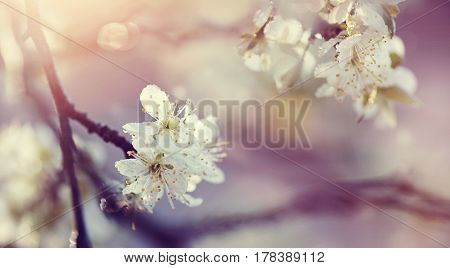 Blossoming of a plum tree in the spring.