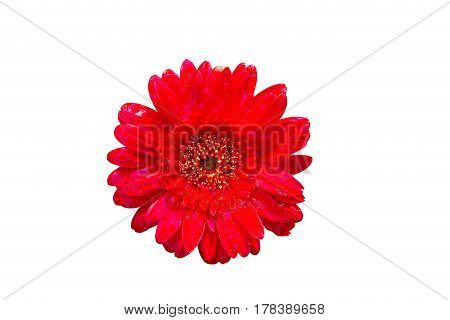 Isolate Red Flower On The White Backgroung