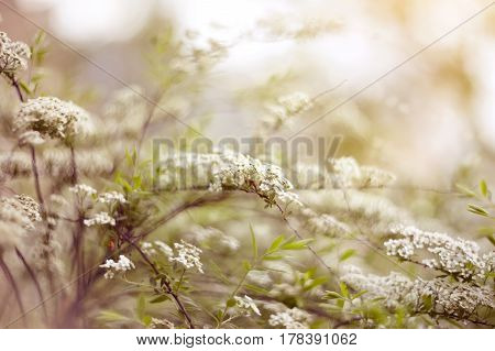 The blossoming bush of Spiraea - a bush garden with white colors