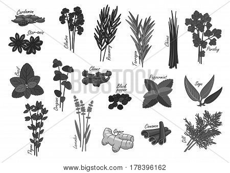 Herbs and spices icons of cardamom and anise star, cilantro or rosemary and tarragon. Seasoning chives, parsley or nasil and lavender, ginger and cinnamon. Sage and peppermint condiments. Vector set