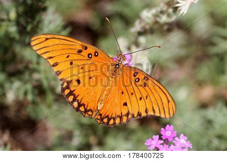 Gulf Fritillary (Agraulis vanillae) on a flower in New Mexico