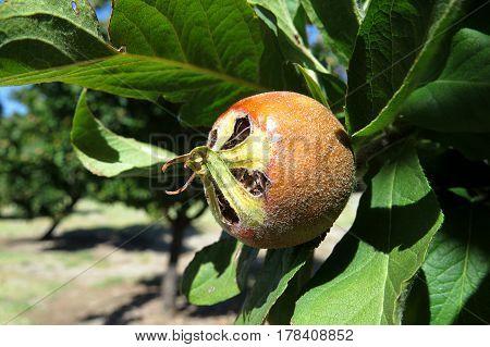 Breda Giant Medlar Mespilus germanica Nespola exotic rare unusual fruit tree ripe