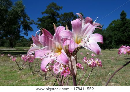 Easter Lily Plant Lilium longiflorum pink lilies blooming in garden