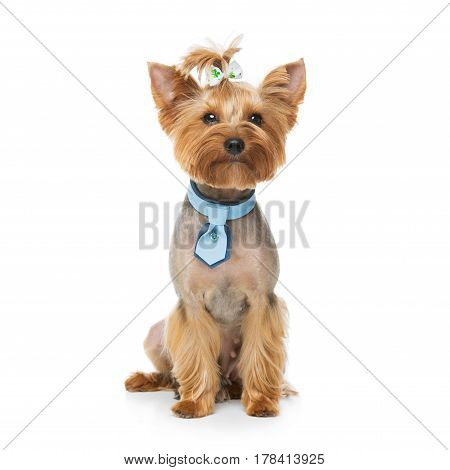 Beautiful pure bred yorkshire terrier female dog in leather fashion collar. Portrait isolated on white background. Copy space. Square.