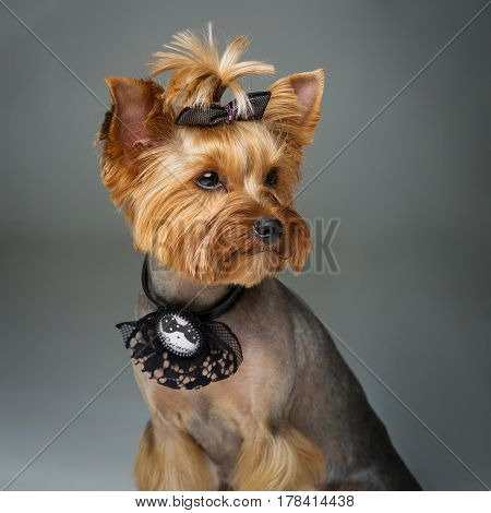 Beautiful pure bred yorkshire terrier female dog in lace fashion collar. Portrait on grey background. Copy space. Square.