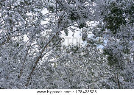 Snow covered eucalyptus treetops. Winter nature landscape