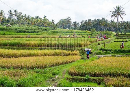 Workers on the land planting rice in the fields of Java Indonesia