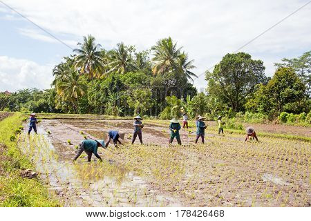 Workers on the land planting rice in the fields of Java Indonesia Asia