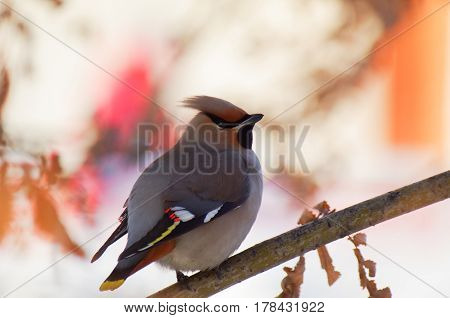 A lonely bird waxwing on a branch isolated