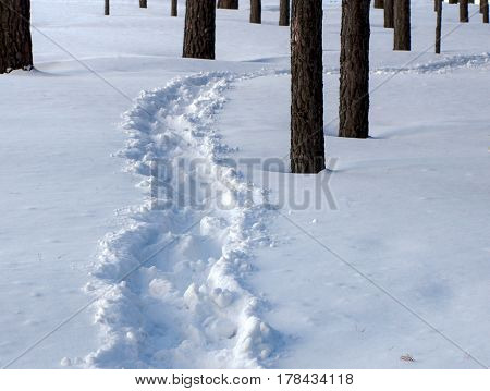 A snow path in the pine forest