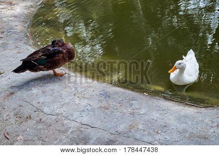 Two ducks, dark and white in Reina Sofia Park, Guardamar del Segura. Spain