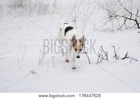 Cross-breed of hunting and northern dog seeking for scent of wild animal in wild field covered with snow