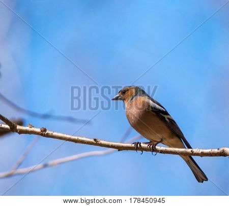 Chaffinch Perched On A Twig