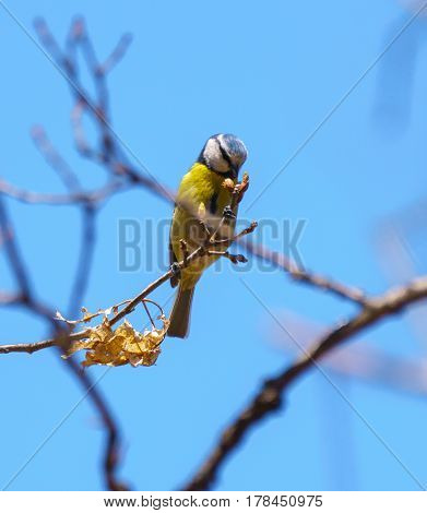 Great Tit Perched On A Branch