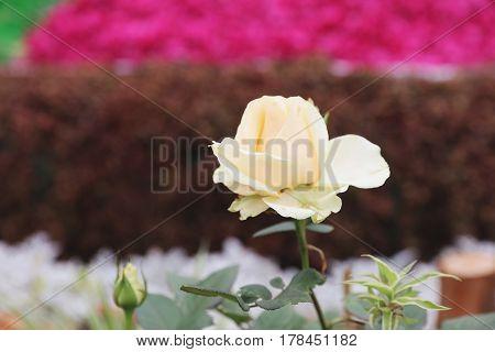 Color Roses Bush In The Garden