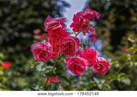 beautiful roses in the garden of a park