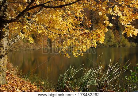 Autumn tree with golden leaves and reflection at Lucelle Lake (Lac de Lucelle) in Swiss Jura