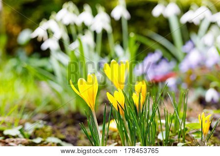 View of beautiful blooming spring flowers crocus growing in wildlife. Yellow crocus growing from earth outside. Snowdrops on background