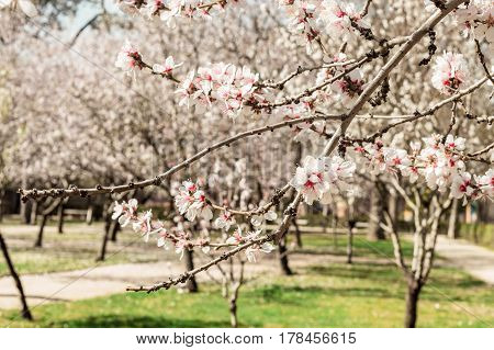 Almond trees in bloom in the Retiro park in Madrid, Spain. Selective focus on the closest branch, and a place for text