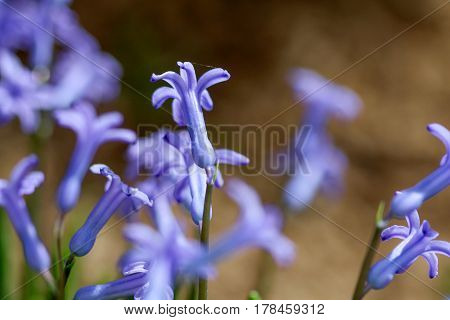 Spring Flowers Hyacints Close Up