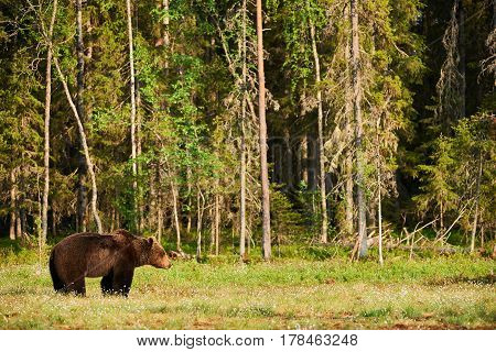 Big male brown bear in a finnish forest in spring