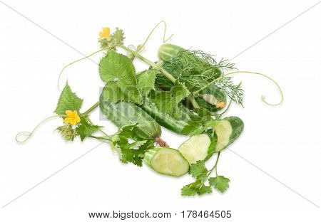 Several fresh whole cucumbers one sliced cucumber and creeping stem of cucumber with the leaves tendrils and flowers parsley and dill on a light background