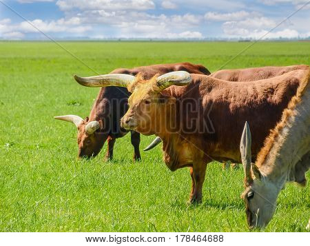 Grazing Watusi cattle and eland antelope in steppe of the nature reserve Askania-Nova in the spring