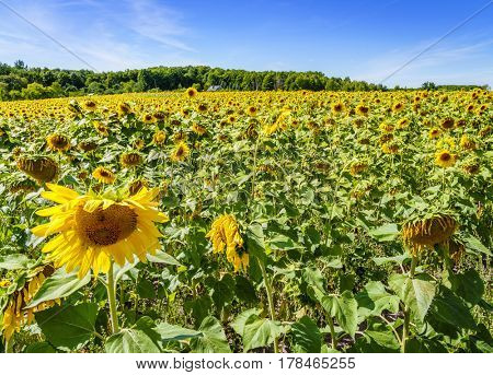 Field of sunflowers in Northern Michigan in summer